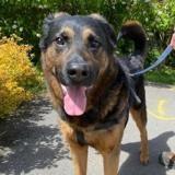 Tyson, Chien croisé / autre (berger allemand) à adopter