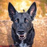 Dexter, Chien croisé / autre (berger allemand) à adopter