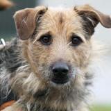 Max, Chien croisé / autre (berger allemand/ griffon) à adopter