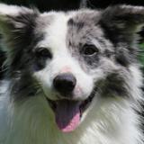Dwayne, Chien croisé / autre (berger australien d'amerique) à adopter