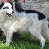 Harry, Chiot croisé / autre (berger australien d'amerique) à adopter