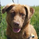 Pagho (réservé), Chien croisé / autre (berger australien d'amerique) à adopter