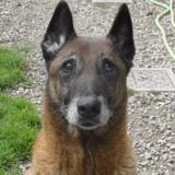 Loko, Chien croisé / autre (berger belge malinois) à adopter