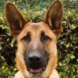 Tyson , Chien croisé / autre (berger belge malinois) à adopter