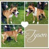 Tyson, Chien croisé / autre (berger belge malinois) à adopter