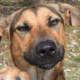 Roxy, Chien croisé / autre (berger belge malinois/ epagneul) à adopter