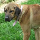 Kara, Chien croisé / autre (berger d'anatolie) à adopter