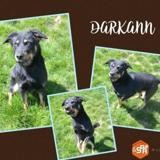 Darkann, Chien croisé / autre (berger de beauce) à adopter