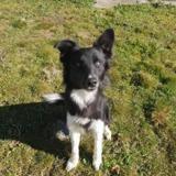 Ribella , Chiot croisé / autre (border collie) à adopter