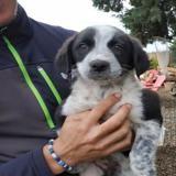 Alys , Chiot croisé / autre (border collie) à adopter