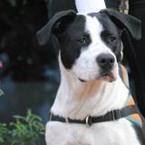Kody, Chien croisé / autre (border collie/ dogue argentin) à adopter