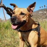 Louna, Chien croisé / autre (boxer) à adopter