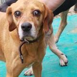 Max, Chien croisé / autre (boxer/ beagle) à adopter