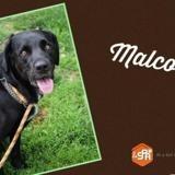 Malco (réservé), Chien croisé / autre (boxer/ border collie) à adopter