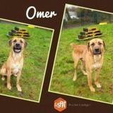 Omer, Chien croisé / autre (boxer/ cane corso) à adopter