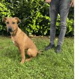 Bianca, Chiot croisé / autre (boxer/ dogue argentin) à adopter