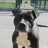Iska, Chien croisé / autre (boxer/ labrador (retriever)) à adopter