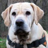 Betty, Chien croisé / autre (boxer/ labrador (retriever)) à adopter