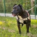 Stubby oaa18932, Chiot croisé / autre (boxer/ terrier) à adopter