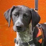 Heidi, Chiot croisé / autre (braque) à adopter