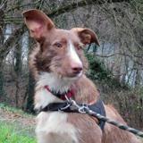 Max, Chien croisé / autre (braque/ border collie) à adopter