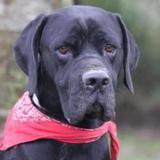 Zeus chao10484, Chien croisé / autre (braque/ cane corso) à adopter