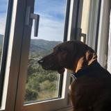 Giulia, Chien croisé / autre (bruno du jura) à adopter