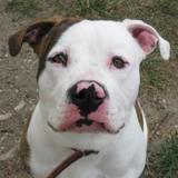 Zak, Chien croisé / autre (bull dog americain) à adopter