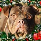 Bretzel, Chien croisé / autre (bull dog americain) à adopter