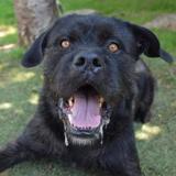 Titan chao9353, Chien croisé / autre (cane corso) à adopter