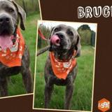 Bruce (réservé), Chien croisé / autre (cane corso) à adopter