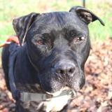 Lewis, Chien croisé / autre (cane corso) à adopter