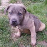 Dolly , Chiot croisé / autre (cane corso) à adopter