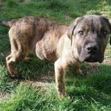 Max , Chiot croisé / autre (cane corso) à adopter