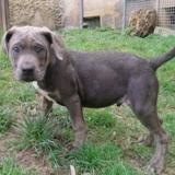 Poppy , Chiot croisé / autre (cane corso) à adopter