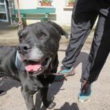 Max, Chien croisé / autre (cane corso) à adopter