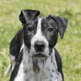 Phoebe, Chiot croisé / autre (cane corso) à adopter