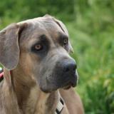 Oly bella haa22387, Chien croisé / autre (cane corso) à adopter