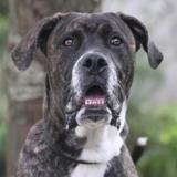 Pimsy chao10092, Chiot croisé / autre (cane corso) à adopter