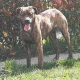 Niro (en placement provisoire), Chien croisé / autre (cane corso) à adopter