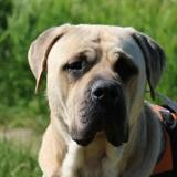 Nash haa22742, Chien croisé / autre (cane corso) à adopter
