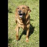 Loustic (réservé), Chien croisé / autre (cane corso) à adopter