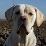 Paz, Chien croisé / autre (cane corso) à adopter