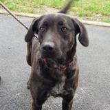 [reserve] choco caa9706, Chien croisé / autre (cane corso) à adopter