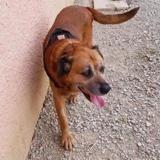 Charly, Chien croisé / autre (cane corso) à adopter