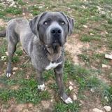 Elijha, Chien croisé / autre (cane corso) à adopter