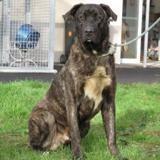 Oggy, Chien croisé / autre (cane corso/ berger) à adopter