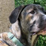 Tyson, Chiot croisé / autre (cane corso/ berger) à adopter