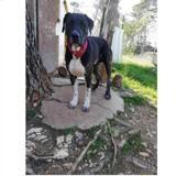 Ivar, Chien croisé / autre (cane corso/ berger) à adopter