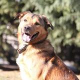 Bayron chao11041, Chien croisé / autre (cane corso/ berger) à adopter